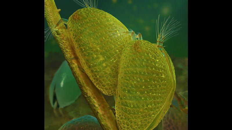 Ilustração da reprodução dos ostracodes; após acasalamento, fêmea ficou presa em gota de âmbar, guardando o espermatozoide que foi revelado cerca de 100 milhões de anos depois (Imagem: Divulgação)