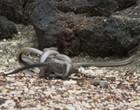 Vídeo de aflição mostra iguana escapando de vales de cobras venenosas
