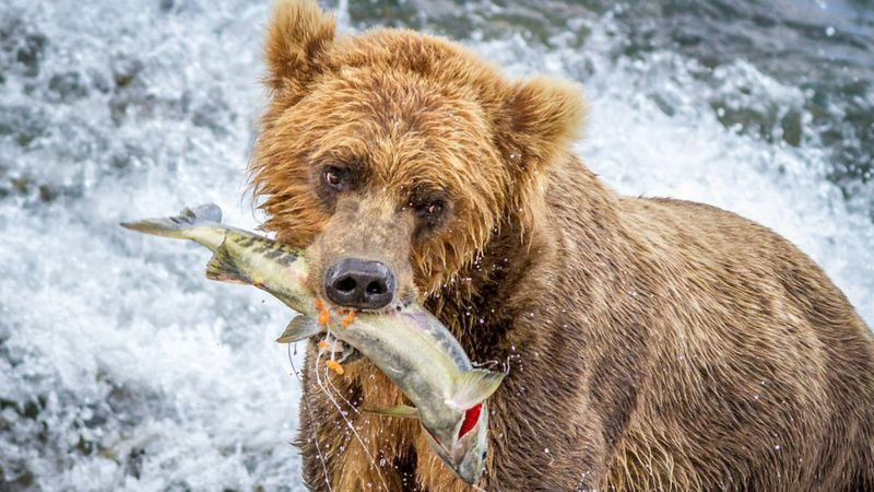 Ursos conseguem contar peixes? (Imagem: Getty Images)