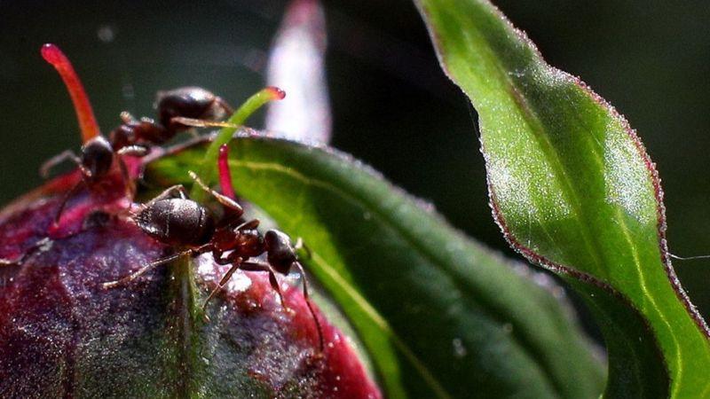 Formigs decidem se devem ou não mover os ninhos (Imagem: Getty Images)
