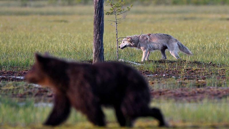 Ás vezes, quando os predadores tentam determinar qual presa atacar, os números não batem (Imagem: Getty Images)