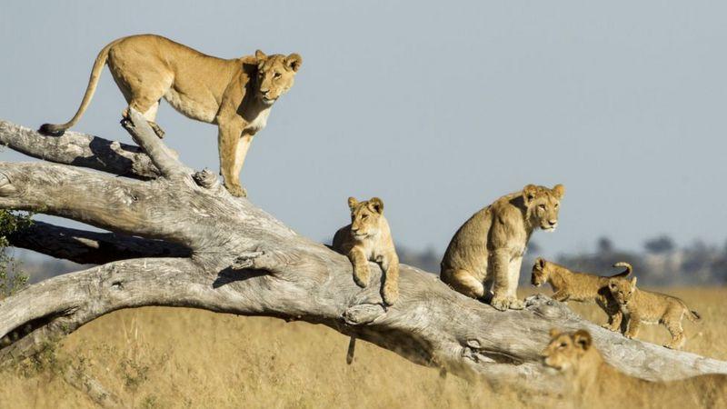 As leoas julgam quantos intrusos podem enfrentar antes de se aproximarem (Imagem: Getty Images)