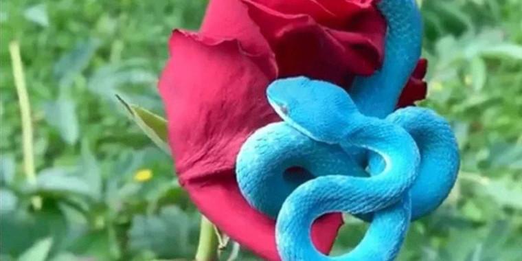 Vídeo mostra cobra rara de cor azul extremamente venenosa