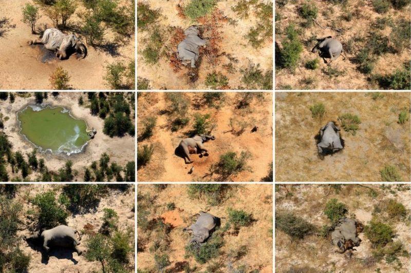 Conjunto de elefantes que morreram em maio e junho deste ano (Imagem: Reuters)