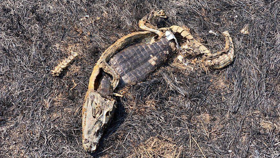 Carcaça de jacaré vítima das queimadas no Pantanal. (Foto: Mario Habelferd)
