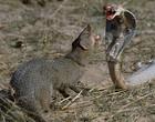 Magusto briga com cobra naja e porcos se juntam para salvá-lo; Assista