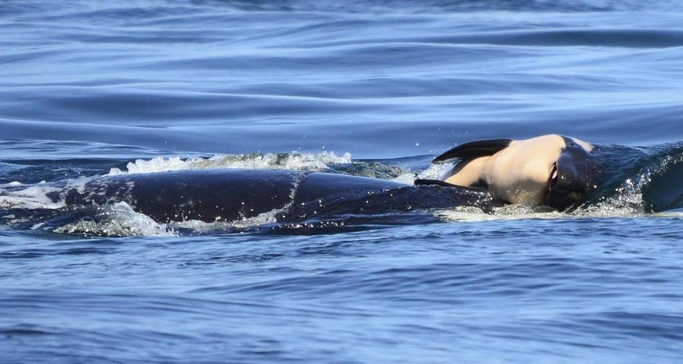 Orca que carregou filhote morto por 17 dias dá à luz novamente  - Imagem 2