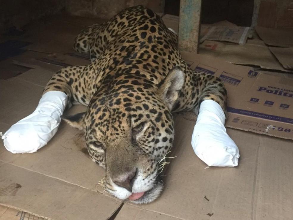 Onça-pintada ferida em incêndio no Pantanal recebe a primeira aplicação de células-tronco, em Corumbá de Goiás — Foto: Reprodução/TV Anhanguera