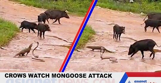 Porcos salvam cobra de ataque