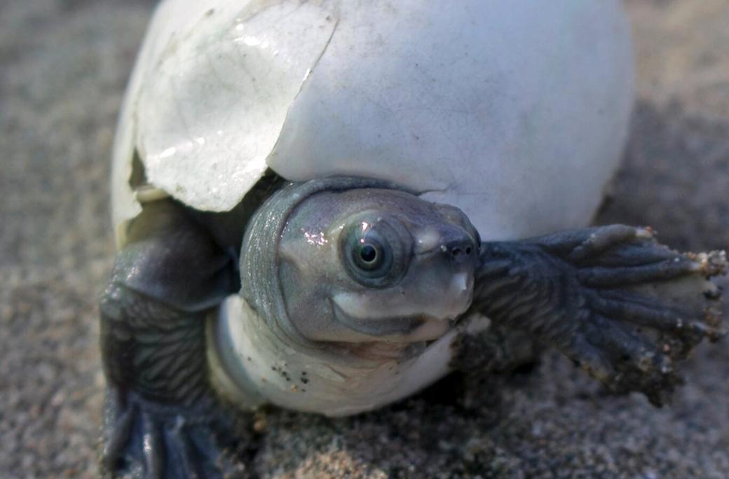 Tartaruga sorridente é trazida de volta da quase extinção