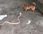 "Cachorro baixinho e ""folgado"" encara serpente venenosa; vídeo"
