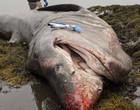 Tubarão-elefante gigante morre misteriosamente na costa dos EUA