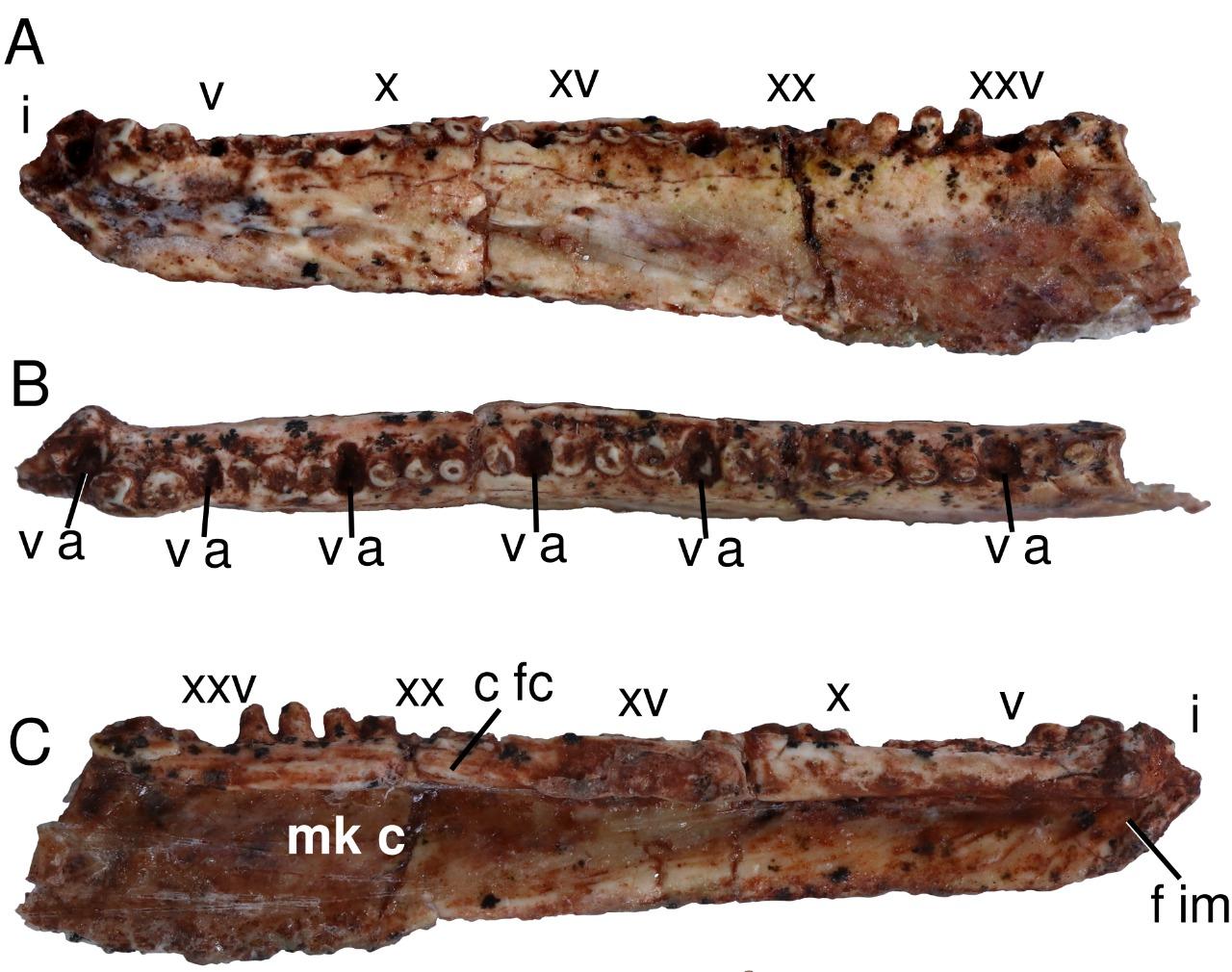 Imagem da mandíbula do fóssil do Karutia fortunata