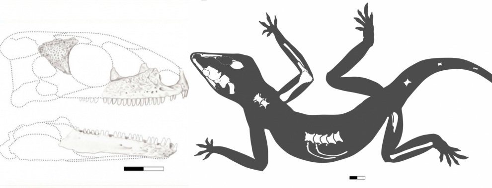 """(À esquerda, crânio da Karutia fortunata e, a direita, Silhueta do fossíl do grupo de répteis conhecidos como """"pararrépteis"""" )(À esquerda, crânio da Karutia fortunata e, a direita, Silhueta do fossíl do grupo de répteis conhecidos como """"pararrépteis"""" )"""