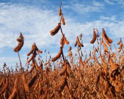 Escassez de soja, milho e trigo é a mais ampla dos últimos anos