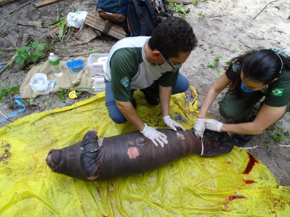 Filhote de peixe-boi foi encontrado morto no rio Mapari - Foto: Divulgaçao/ICMbio