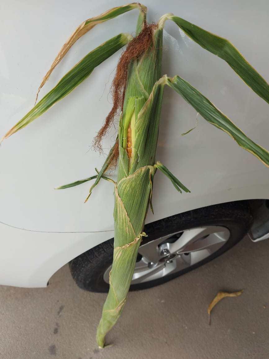 Espiga de milho de 75 centímetros é colhida por idoso no Piauí