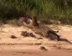 Vídeo mostra ataque certeiro de onça-pintada a capivara no Pantanal