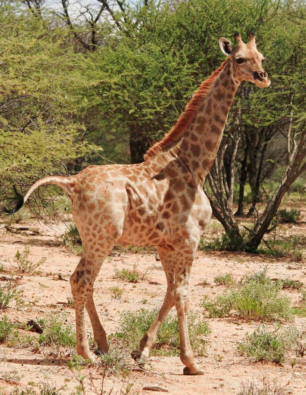 Girafa anã vista na naníbia (Foto: reprodução)