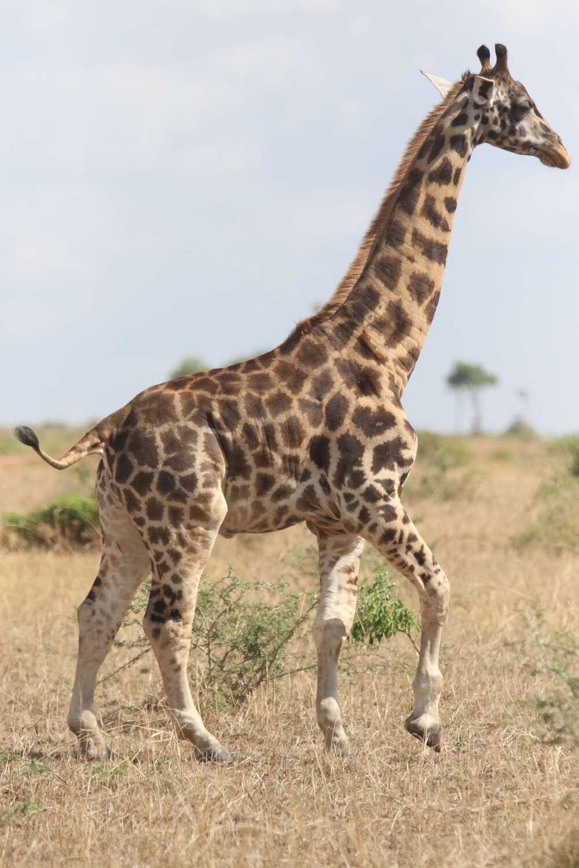 Girafa de Uganda: pescoço mais avantajado (Foto: reprodução)