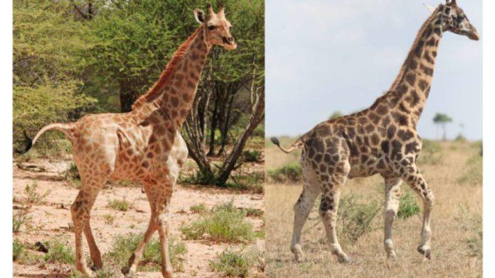 Girafas (Foto: reprodução)