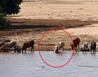 Crocodilos e hipopótamos arrastam boi para dentro de rio; vídeo