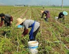 Número de ocupados no agronegócio cresce 1,3% no 3º semestre de 2020