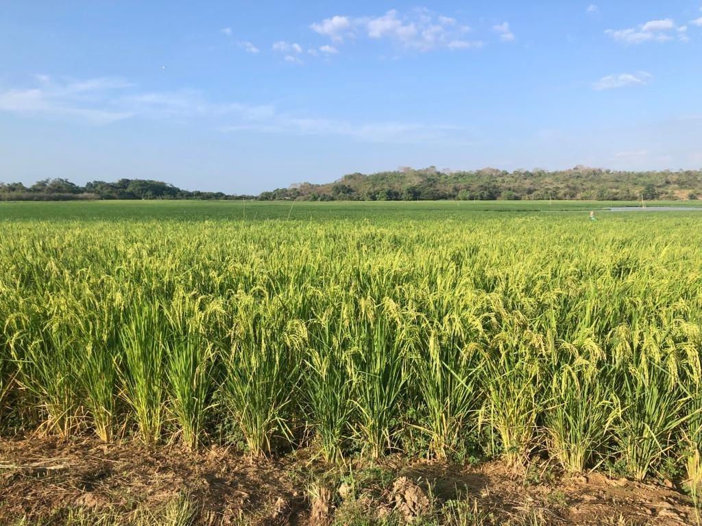 Prefeito Genival Bezerra visita campo de produção arroz - Imagem 2