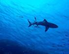 Tubarão persegue e ataca violentamente foca em baía da Austrália