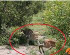 Vídeo: impala escapa de crocodilo, mas é devorado por leopardo depois