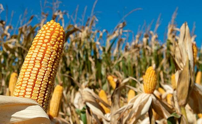 Novo método para extrair proteína do milho deve colocar mais bioplásticos no mercado - Imagem 1