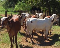 Gir leiteiro: inseminação e fertilização são estratégias de propriedade do norte do Piauí
