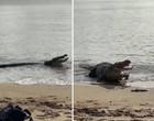 Crocodilo gigante aparece em praia e devora filhote de tubarão; vídeo