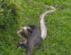 Vídeo mostra lagarto com indigestão e regurgita cobra píton inteira
