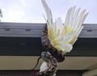 Cacatua é devorada após ser estrangulada por píton em telhado de casa