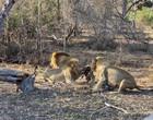 Vídeo impressionante mostra grupo de leões trucidando cães selvagens