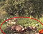 Vídeo de cães selvagens mostra ataque brutal dilacerando antílope