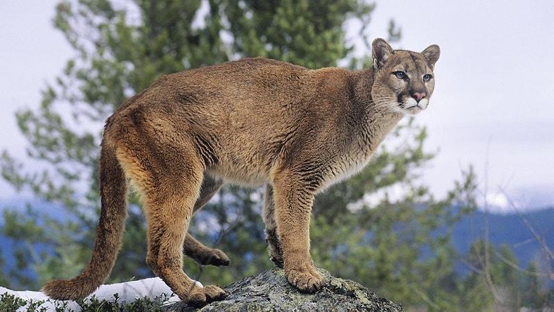 Autoridades da vida selvagem estimam que de 4.000 a 6.000 leões da montanha vivam na Califórnia- Foto: Reprodução