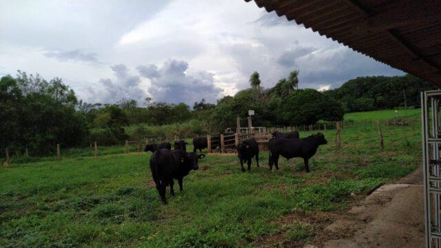 Usar touro avaliado deixou de ser diferencial e virou obrigação, diz Embrapa - Imagem 2