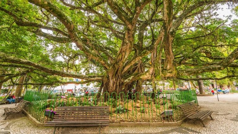 Figueira da Praça XV, em Florianópolis (Embratur)