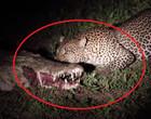 """Vídeo: onça rouba comida de dentro da boca de crocodilo """"adormecido"""""""