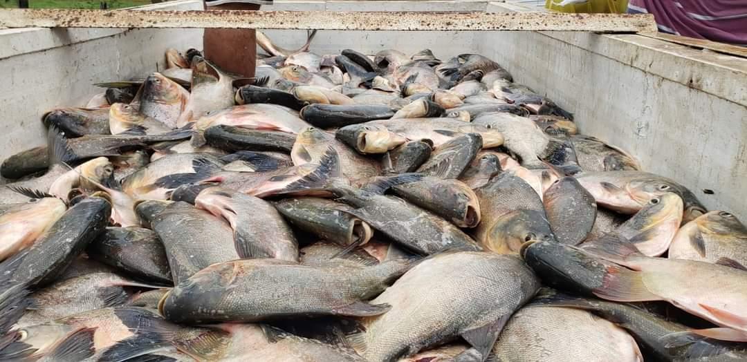 Prefeito João Luiz mantém tradição de distribuição do pescado em Monsenhor Gil - Imagem 1