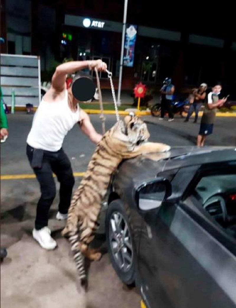 Dono exibe tigre de Bengala em posto de gasolina no México Foto: Reprodução