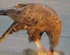 Vídeo impactante mostra águia devorando cobra marrom após luta