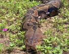 Fazendeira é achada morta dentro de píton gigante na Indonésia