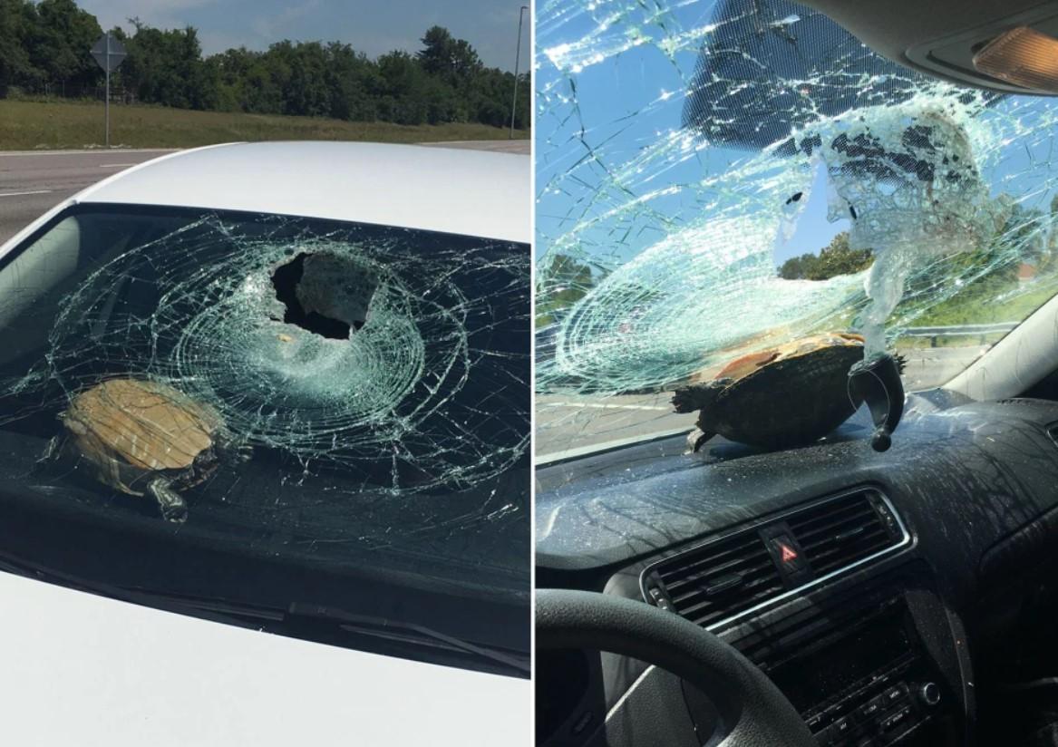Tartaruga bate no para-brisa de carro e atinge mulher de 71 anos - Foto: Reprodução
