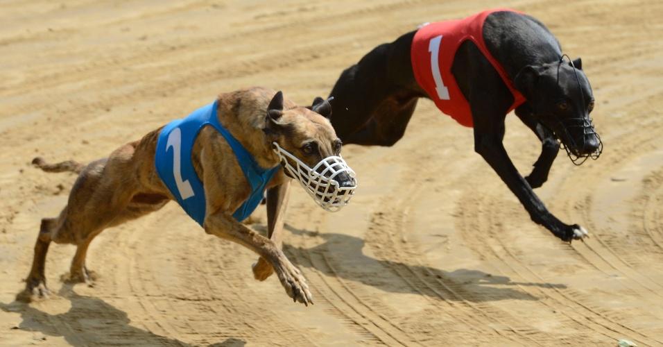 Corrida de cães galgos - Foto: ReproduçãoCorrida de cães galgos - Foto: Reprodução
