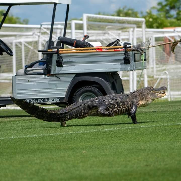 Jacaré invadiu o treino do novo time do Soteldo, ex-Santos - Foto: Toronto/FC