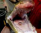 Mandíbulas terríveis: conheça o horripilante peixe-jacaré!