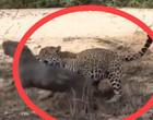 Onça-pintada é flagrada em ataque brutal a capivara; assista!